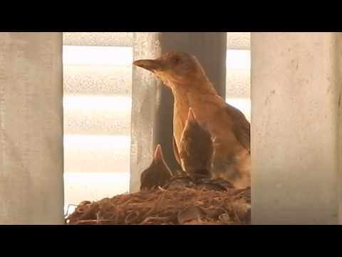 Clay-colored Thrush Feeding Chicks & Removing Fecal Sac