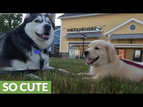 "Siberian Husky casually ""talks"" with Golden Retriever puppy"