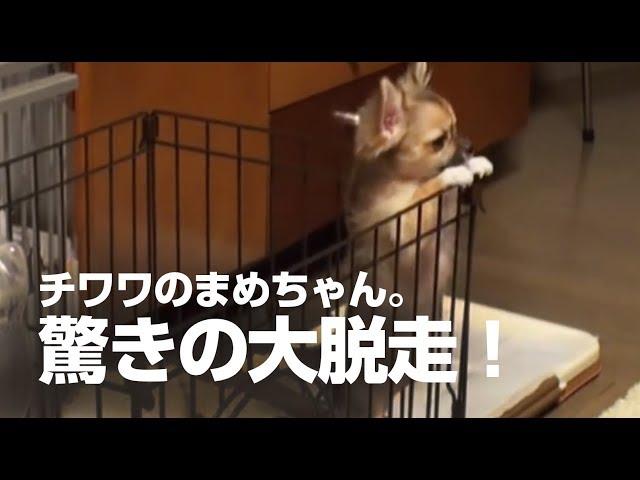 脱走する赤ちゃんチワワ Chihuahua baby escaped