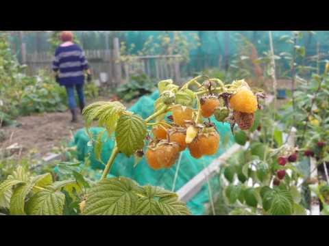 Golden Raspberry and Red Raspberry: Taste Comparison