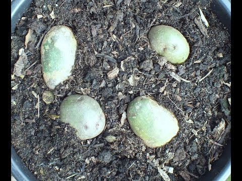 HGV Grow Potatoes. Horrific tales of mass sickness and death. Poisonous Potatoes Start to Finish.