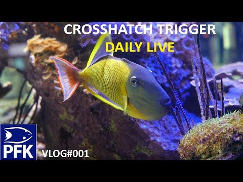 HOW TO TAKE CARE OF A CROSSHATCH TRIGGER A $900 FISH - LIVE VLOG PFK #001
