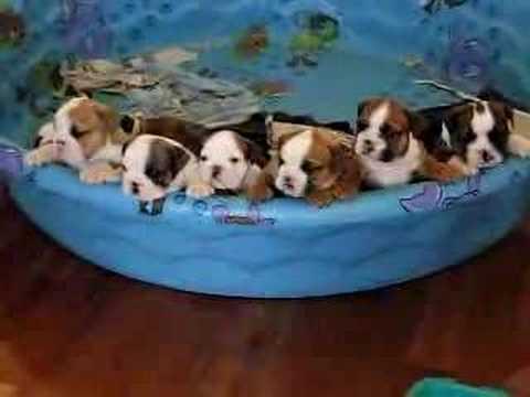 English Bulldog Puppy Chorus