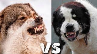 ТОП 5 пород собак которых считают волкодавами