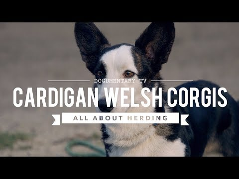 CARDIGAN WELSH CORGI ALL ABOUT HERDING