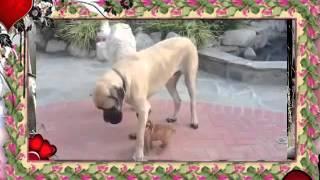 Породы собак Мастиф, Волкодав и Бульдог щенок