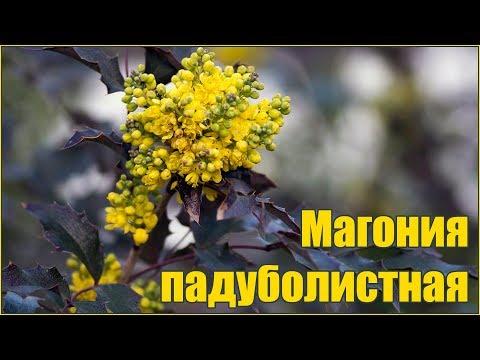 Магония падуболистная размножение семенами стратификация и посадка