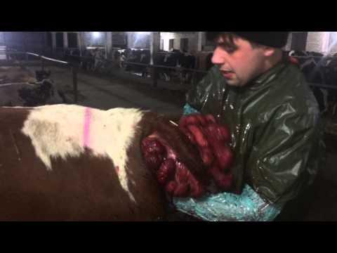 Cow with a prolapsed uterus/ Випадіння матки