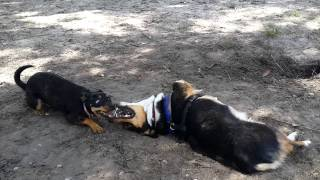Panzer The Corgi Epic Dog Park Battle