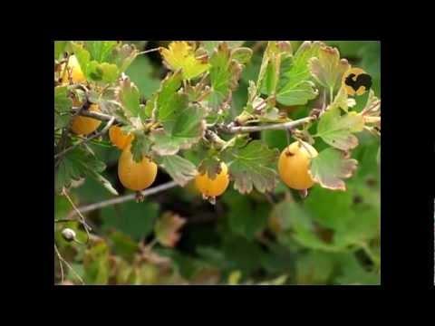 видео: Сад и огород-96 Как грамотно вырастить крыжовник