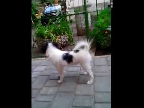 Japanese chin,girl Butterfly