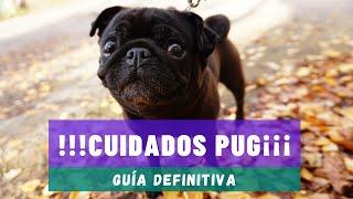 CUIDADOS PUG, guía DEFINITIVA