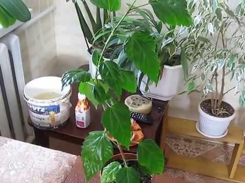 Комнатная роза(китайская роза)или ГИБИСКУС