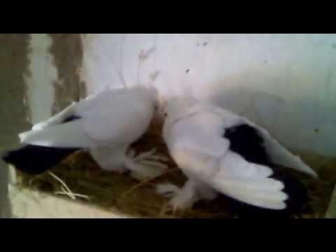 Северокавказские чернохвостые голуби. Костанай.