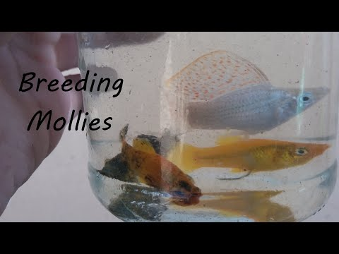 How To Breed Molly Fish And Other Livebearers