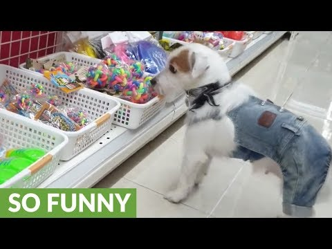 Jack Russell picks out favorite toy at the store