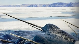 Repeat youtube video Wow !!! Amazing Facts About The Narwhal