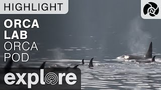 Orca Whales Off Orca Lab Base - Live Cam Highlight