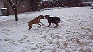 Boxer Vs Rottweiler Gsd