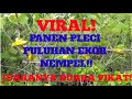 Suara Pikat Pleci Kok Semenit Burungnya Uda Berserakan Di Pulut  Mp3 - Mp4 Download