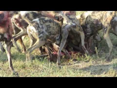 African Wild Dogs Vs. Warthog Lebala Botswana Sept 2013