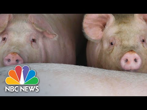What Happens When A Pig Can't Go To The Market?