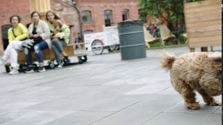 Brown labradoodle running HD