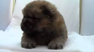 かわいいチャウチャウの子犬が生まれました! 優良ブリーダーから、健康...