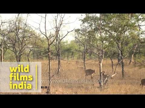 Female Nilgai grazing on dry grassland of Panna National Park