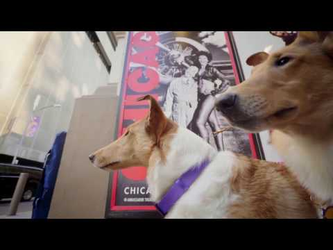 Westminster Dog Show: Smooth Collies on Broadway