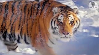 wounded-tiger-came-to-the-house-of-a-man-to-ask-for-help