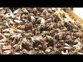 Luçon : des abeilles s'installent en ville !
