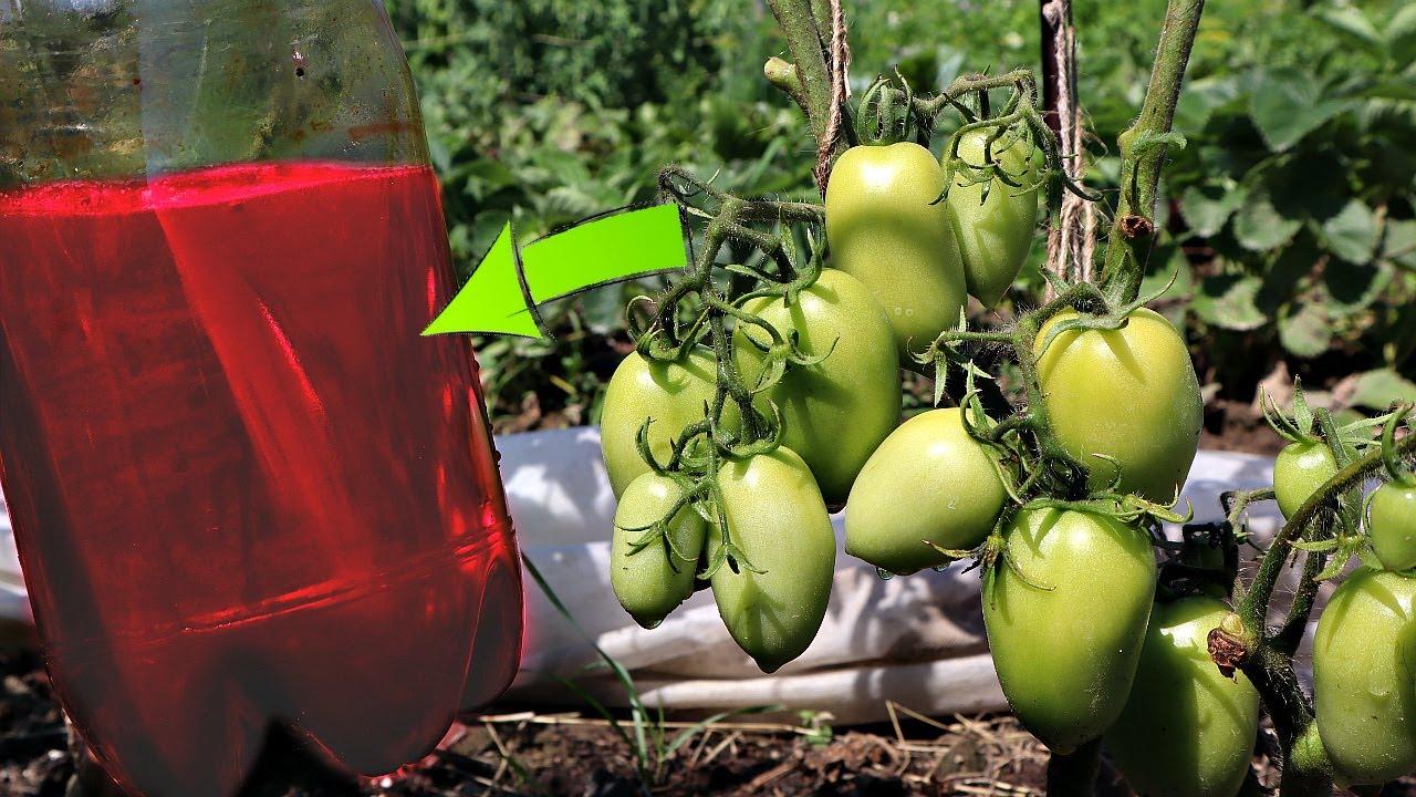 Новое средство от фитофторы на томатах! Грибок погибает в мгновение ока! Консенто от фитофторы!