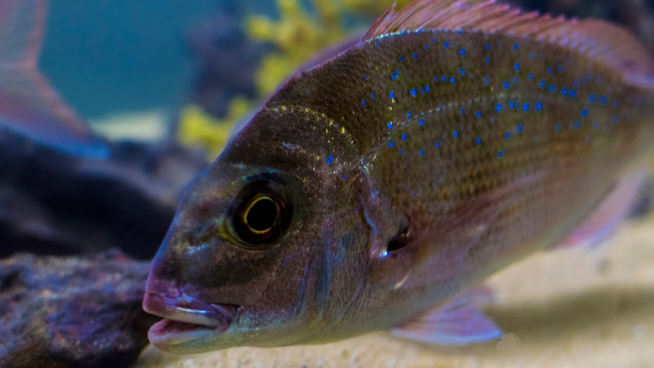 Fish for coldwater aquarium - Marine Aquarium Saltwater Cold Water Fish Tank Setup Australian Snapper
