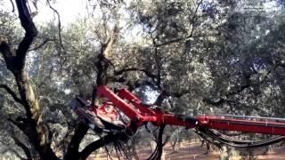 Scuotitore Olive Phoenix, Raccolta Olive 2014