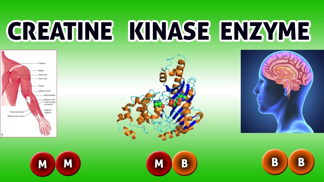 What is creatine kinase?