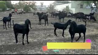 Nikita Goat farm Beetal Goats Sales Video.  निकिता गोट फार्म बीटल गोट सेल्स विडिओ.