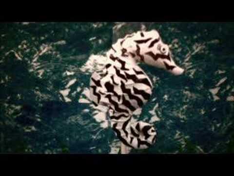 Zebra Seahorse - YouTube