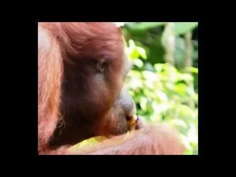 Orangutan Feeding Centre  - sepilok orangutan feeding time