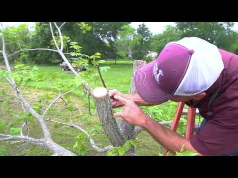 Top Working Larger Pecan Trees by Texas A&M AgriLife Extension