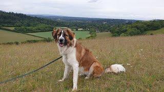 Lyla the St Bernard x Collie  4 Weeks Residential Dog Training