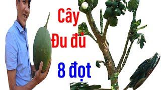 Đi xem cây đu đủ lạ đời, có tới 8 đọt, trái chi chítII ĐỘC LẠ BÌNH DƯƠNG