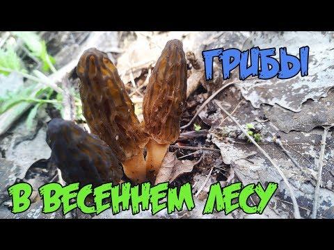 Поиск сморчков в лесу 2019
