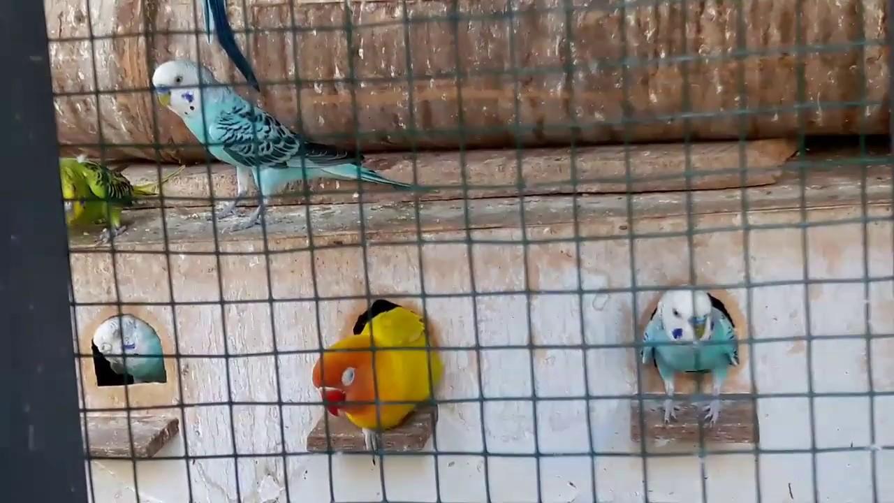 Koloni Love Bird Parkit Burung Youtube