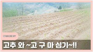 고추, 고구마, 땅콩심기 심기 ,귀농귀촌,자급자족,시골…