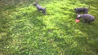 Щенки Перуанской голой собаки - Питомник Айсфайер