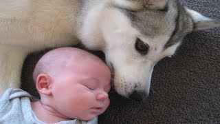 Nanny dog brings everything lovely to baby | Dog loves Baby Compilation