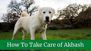 pros and cons of owning Akbash || Akbash Common Health Issues || How To Take Care of Akbash