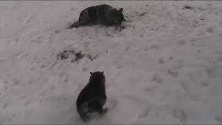 Гибрид лайки с волком