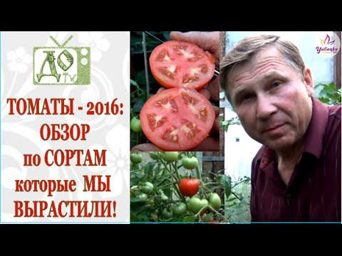 ТОМАТЫ / ПОМИДОРЫ - 2016 в теплице: СОРТА и ГИБРИДЫ в РЕАЛЬНОЙ ЖИЗНИ!